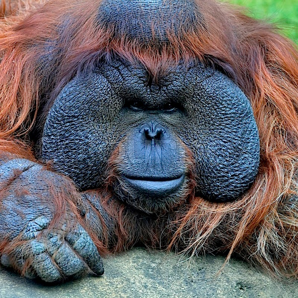 8234483-narrow-look-at-the-camera-eye-to-eye-with-an-orangutan-male-chief-of-the-monkey-family-face-portrait-of-the-most-expressive-animal-great-human-like-ape