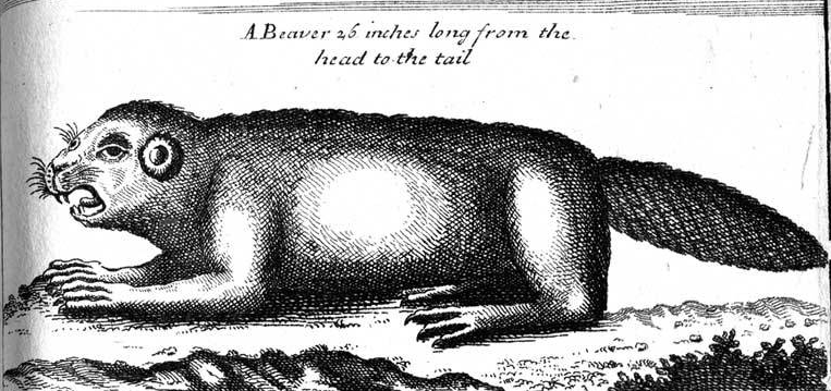 Antique Beaver Illustration.PNG